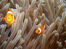 Clown fish, Apo Island, Philippines by Eliel Alfon