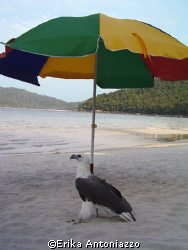 Tame sea eagle hiding in the shade of a beach umbrella. by Erika Antoniazzo