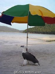 Tame sea eagle hiding in the shade of a beach umbrella. by Erika Antoniazzo