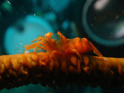 whipcoral shrimp. no cropping no photoshop jus point shoo... by Rory Ferguson