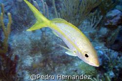 Yellowtail Snapper,Humacao, Puerto Rico by Pedro Hernandez