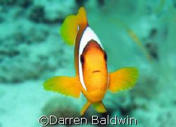 Clownfish taken at Ras Umm Sid (northern Red Sea), Egypt ... by Darren Baldwin