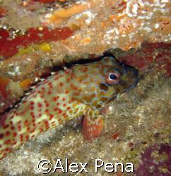 stocky hawkfish trying to swim away under a boulder. love... by Alex Pena