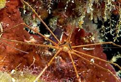 Arrow Crab by Andy Lerner