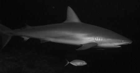 Caribbean Reef Shark, The Maze, Grand Cayman by Neil Van Niekerk