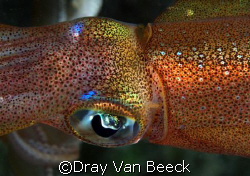 Curious squid. Nikon D80, 60mm macro. by Dray Van Beeck