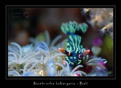 Nembrotha kubaryana - USAT Liberty, Bali Nikon F100 by James Flear