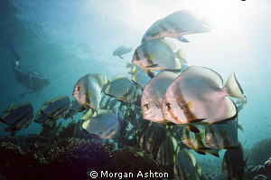 Batfish. Sipadan. by Morgan Ashton