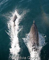 Dolphins playing with the waves that the boat generated o... by Szilvia Gogh