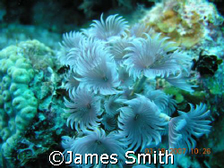 Social Tube Worms, Grand Turk, taken with a Nikon 8800 ca... by James Smith