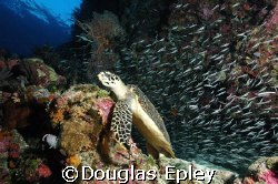 turtle, wakatobi house reef d70 12-24 lens by Douglas Epley