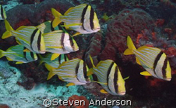 A school of Porkfish, taken in Cozumel. These fish are al... by Steven Anderson