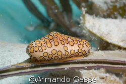 Flamingo Tongue by Armando Gasse