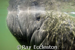 Manatee close-up, Camera Nikon D-200 by Ray Eccleston