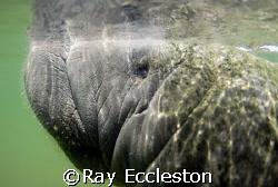 Manatee close-up, Camera Nikon D-200 by Ray Eccleston