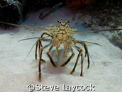Carribean spiny lobster - great view by Steve Laycock