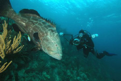 Grouper and diver.  Bermuda.  Nikon D70, 12 mm lens. by David Heidemann