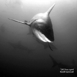 Black Tip Sharks abound in Umkomaas RSA by Fiona Ayerst
