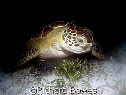 Turtle at Coral Gardens Provo, Turks and Caicos by Richard Bowes