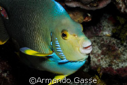 Queen Angel Fish by Armando Gasse