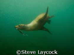 Galapagos sealion with fish, taken whilst snorkling in pe... by Steve Laycock