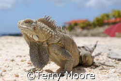 Bonaire Iguana at Sand Dollar Resort by Terry Moore