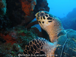 nice turtle at paradise reef in st. kitts at caribbean ex... by Victor J. Lasanta Garcia