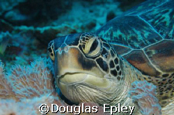 just woken up,sea turtle wakatobi, indonesia. d70 60mm by Douglas Epley