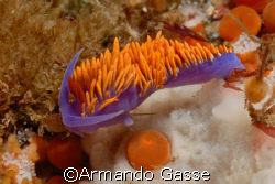 Blue Nidibranch taken in Ensenada Mexico by Armando Gasse