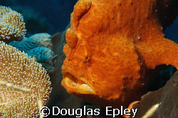 frogfish, a face only a mother could love, taken at wakatobi by Douglas Epley