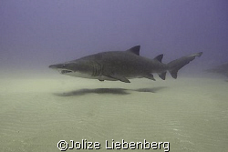 Pregnant ragged tooth sharks come to a shallow reef at So... by Jolize Liebenberg