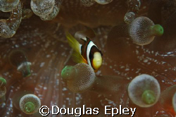 anemone fish, wakatobi, indonesia by Douglas Epley