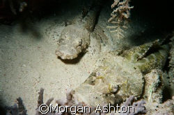 A pair of crocodilefish off Mabul Island by Morgan Ashton