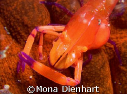 imperator shrimp on seacucumber on the dark sand of Lembe... by Mona Dienhart