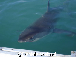 A Cute White Shark at Shark Alley - South Africa. by Daniela Waltrick