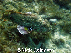 Scorpion Fish on the move SD600 by Nick Calaceto