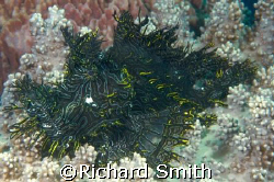 My first Rhinopias, Lacy Scorpionfish.  One of the most a... by Richard Smith