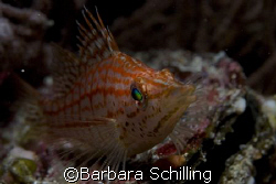 Longnose hawkfish taken in the Maldives by Barbara Schlilling