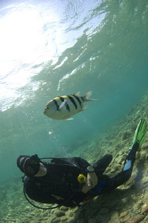 Diver and Seargent Major, at Canyon, Dahab, Red Sea by Mike Clark