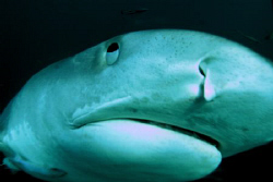 oops a tiger shark bumps my dome port. close! too close by Fiona Ayerst