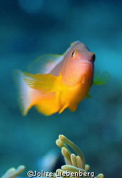 Red anemone fish at my favourite reef at Sodwana Bay with... by Jolize Liebenberg
