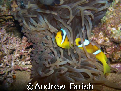 Clown fish on the Thistlegorm by Andrew Farish
