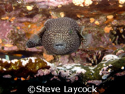 Guineafowl puffer fish, it realy does have two eyes - tha... by Steve Laycock