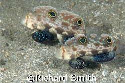 Pair of Twin Spot/Crab eye Gobies clearing out their hole... by Richard Smith