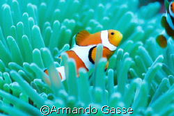 Clown Fish by Armando Gasse