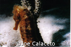 Sea Horse Cozumel by Joe Calaceto