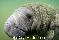 Manatee at Crystal River. Camera Nikon D-200 by Ray Eccleston
