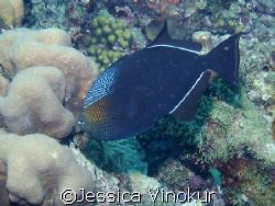 Beautifully colored Black Durgon! Taken in Bonaire  by Jessica Vinokur