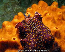 Beautifull sea slug by Edmundo Colon-Izquierdo