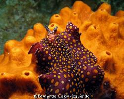 Beautifull sea slug by Edmundo Colon-Izquierdo